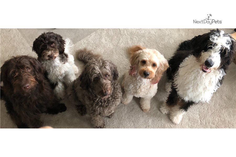Accolades and breeding experience for your Labradoodle breeder