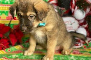 Eskimo Dogs for sale