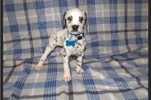 Light blue | Puppy at 26 weeks of age for sale