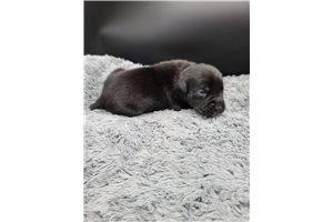 Zuberi - Cane Corso Mastiff for sale