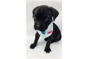 Nirobe - Cane Corso Mastiff for sale