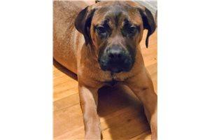 Lillyah - Cane Corso Mastiff for sale