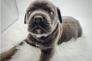 Jelani - Cane Corso Mastiff for sale