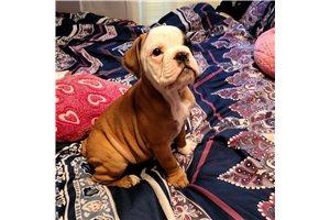 Lola - Olde English Bulldogge for sale