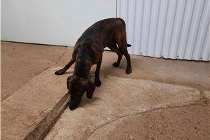 Picture of a Plott Hound Puppy