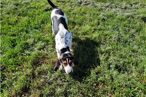 Treeing Walker Coonhounds for sale