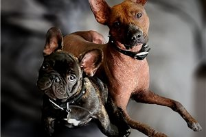 Featured Breeder of Xoloitzcuintlis with Puppies For Sale