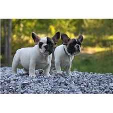 View full profile for Best Frenchies