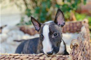 Sam - Bull Terrier for sale