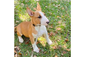 George - Bull Terrier for sale