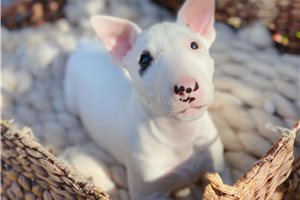 Cosmo - Bull Terrier for sale