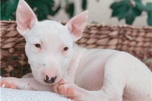 Dipper - Bull Terrier for sale