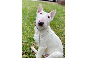 Grover - Bull Terrier for sale