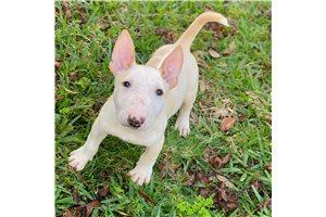 Lalo - Bull Terrier for sale