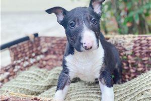 Tommy - Bull Terrier for sale
