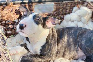 miku - Bull Terrier for sale