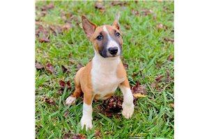 Ruby - Bull Terrier for sale