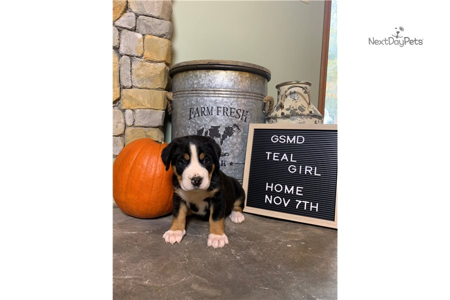 Teal Girl: Greater Swiss Mountain Dog puppy for sale near ...