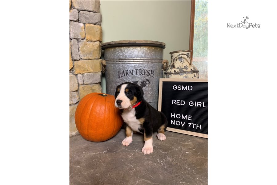 Red Girl: Greater Swiss Mountain Dog puppy for sale near ...