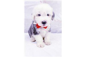 Logan - Olde English Sheepdog for sale