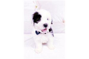 Linus - Olde English Sheepdog for sale