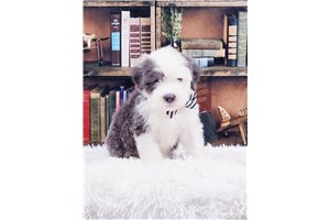 Hungry - Olde English Sheepdog for sale