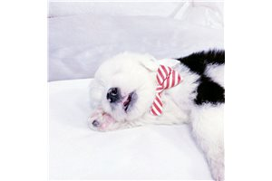 Loki - Olde English Sheepdog for sale