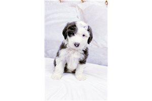 Luna - Olde English Sheepdog for sale