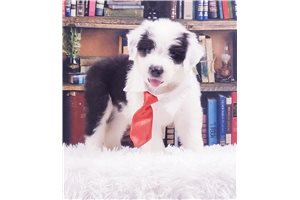 Sneezy - Olde English Sheepdog for sale