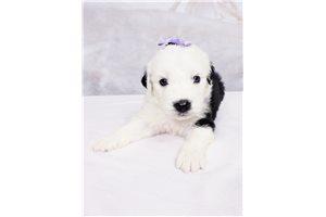 Lola - Olde English Sheepdog for sale