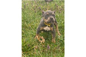 Baby Girl - American Bully for sale