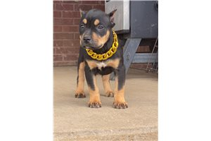 Rihanna remy - American Bully for sale