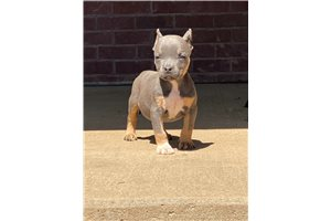 Lil baby - American Bully for sale