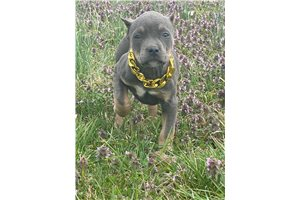 Blue Barbie - American Bully for sale