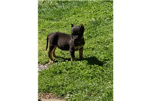 Hersey - American Bully for sale