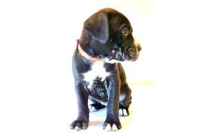 American Bandogge Mastiffs for sale