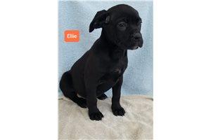 Ellie - Cane Corso Mastiff for sale