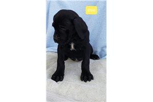 Elsie - Cane Corso Mastiff for sale