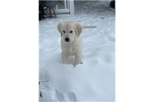 Bryndle - English Golden Retriever for sale