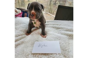 MobShop Alpha | Puppy at 4 weeks of age for sale