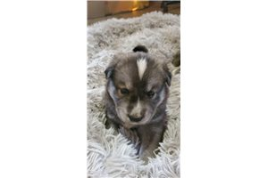 Picture of a Gerberian Shepsky Puppy