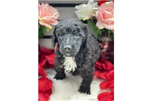 Jeffrey - Poodle, Standard for sale
