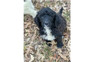 Joclyn - Poodle, Standard for sale
