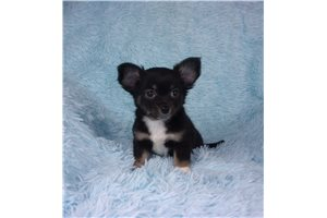 Lil Bear - Chihuahua for sale