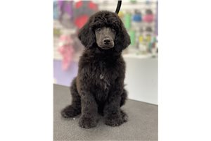 Phantom  - Poodle, Standard for sale