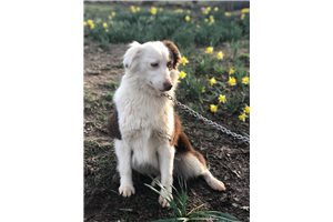 Hank - Miniature Australian Shepherd for sale