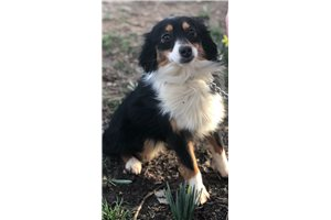 Koda - Miniature Australian Shepherd for sale