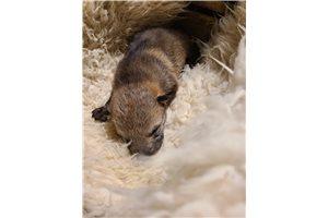 Czechoslovakian Wolfdogs for sale