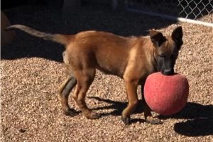 Zelda - Belgian Malinois for sale