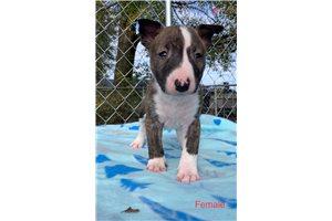 Kendall - Bull Terrier for sale